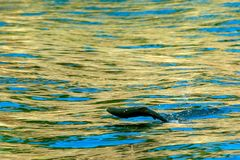 Jumping salmon. Jumping out of the water during spawning salmon Stock Photo