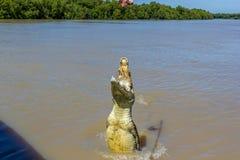 Jumping saltwater crocodile in Kakadu National Park in Australia& x27;s Northern Territory. Jumping saltwater crocodile in Kakadu National Park in Australia& x27 stock photos