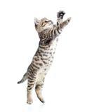 Jumping scottish kitten Stock Photos