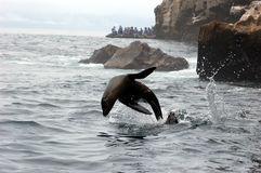 Jumping sea lion in Galapagos waters.  Stock Photography