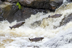 Jumping sea trouts Stock Photo