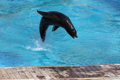 Jumping Sealion Royalty Free Stock Photo