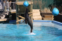 Jumping Sealion. Sealion jumping during a show Royalty Free Stock Image