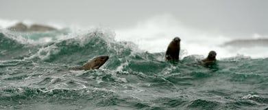 Jumping seals Royalty Free Stock Photos
