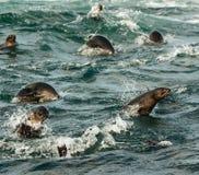 Jumping seals Stock Image