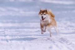 Jumping shiba inu dog in the snow Royalty Free Stock Photos