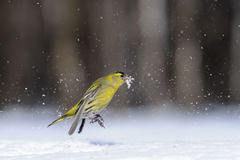 Jumping Siskin with a seed in a snowdrift. Male siskin (Carduelis spinus) in snow. Moscow region, Russia Stock Photos