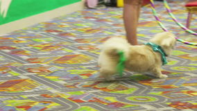 Jumping smart dog. White dog tumbles and jumps through a ring stock footage