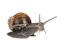 Jumping snail Royalty Free Stock Photos