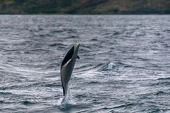 Jumping Southern right whale dolphin in the Strait of Magellan. Patagonia, Chile royalty free stock image