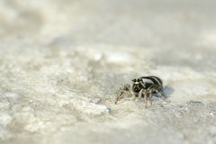 Jumping spider. A Jumping spider is creeping on stone surface Royalty Free Stock Photos