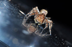 Jumping spider. Amazing of Thailand Stock Image