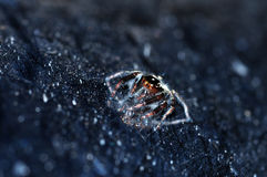 Jumping spider. Amazing of Thailand Stock Photos