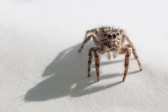Jumping Spider. Macro of Jumping spider on white Stock Photography
