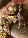 Jumping spider. Macro shot of a jumping spider, Marpissa Muscosa Stock Photos