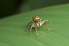 Jumping Spider. A beautiful jumping spider pose to the camera Stock Image