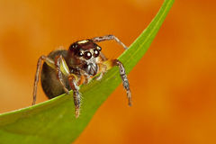 Jumping Spider. A jumping spider hanging on top of a leaf deciding to jump or not Stock Images