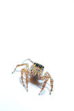 Jumping spider. With white background Royalty Free Stock Photos