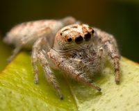 Jumping spider. Sitting on a leaf Stock Images