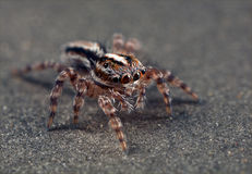 Jumping spider. A jumping spider on a brown metallic surface Royalty Free Stock Photography