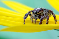 Free Jumping Spider Stock Image - 28598191