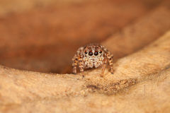 Jumping Spider. A mini jumping spider on a dry, brown leaf royalty free stock photography