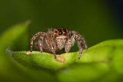 Jumping Spider. Plexippus paykulli is a jumping spider in the family Salticidae. It is native to south east Asia but has spread to other parts of the world. In stock photo