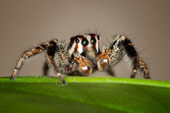 Jumping Spider. Plexippus paykulli is a jumping spider in the family Salticidae. It is native to south east Asia but has spread to other parts of the world. In stock image