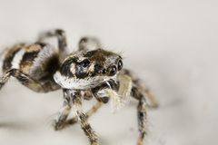 Jumping spider. JCloseup of a jumping spider Royalty Free Stock Photo
