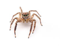 Free Jumping Spider Royalty Free Stock Photography - 45753547