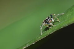 Jumping spider. A jumping spider only 1mm Stock Photo