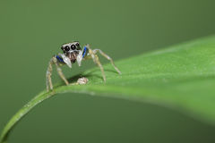 Jumping spider. A jumping spider only 1mm Royalty Free Stock Image