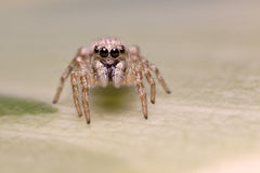 Free Jumping Spider Stock Photography - 90031252