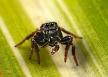 Jumping spider and ant. Jumping spider, having caught an ant Royalty Free Stock Photo