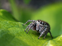 Jumping spider approaching Royalty Free Stock Photo