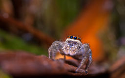Jumping spider in autumn Royalty Free Stock Photo