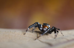 Jumping Spider. Beautiful jumping spider Jumping Spider on dried leaf Stock Photos