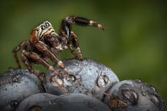 Jumping spider on the blackberry in the dark green background stock photos