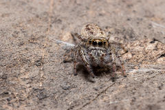 Jumping Spider Blends with Environment Royalty Free Stock Image