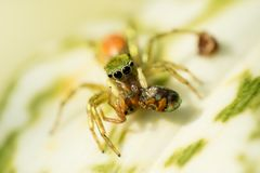 Jumping spider catching prayer in the garden Stock Photography
