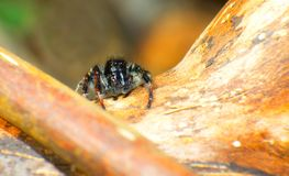 Jumping spider close-up Stock Images