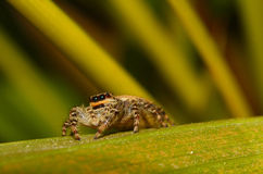 Jumping spider Royalty Free Stock Image