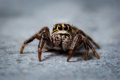 Jumping spider close up Royalty Free Stock Image