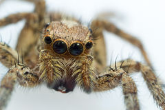 Jumping spider close up Stock Image