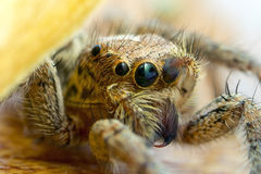 Jumping spider close up Royalty Free Stock Images