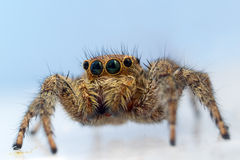 Jumping spider close up Royalty Free Stock Photos