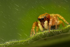 Jumping spider Stock Photos