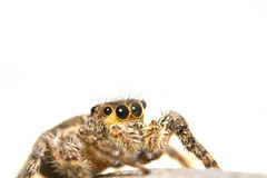 Jumping Spider close up shot Stock Photo