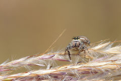 Jumping spider. The close-up of a small jumping spider on grass ear Stock Image
