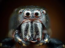 Jumping spider closeup Royalty Free Stock Images